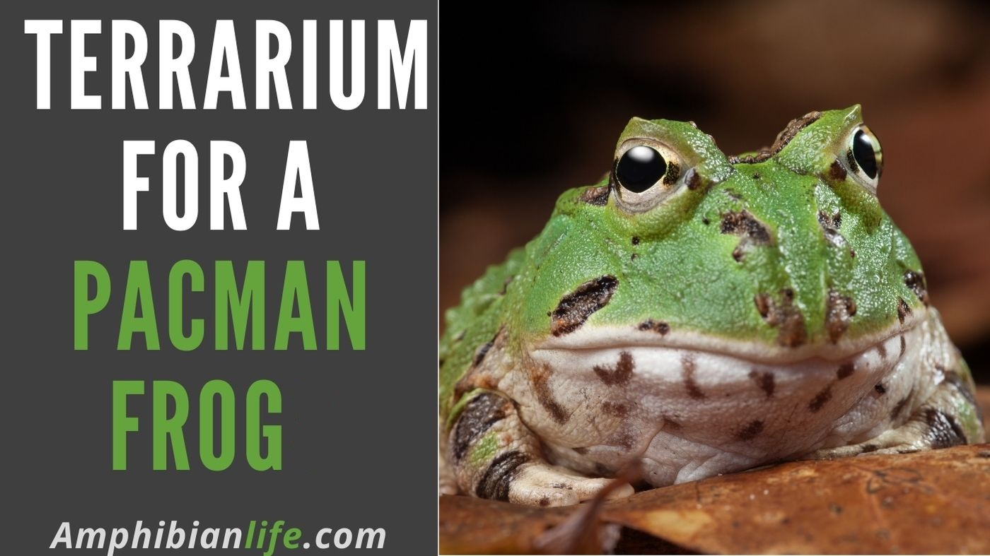 What is the recommended terrarium size for a Pacman frog