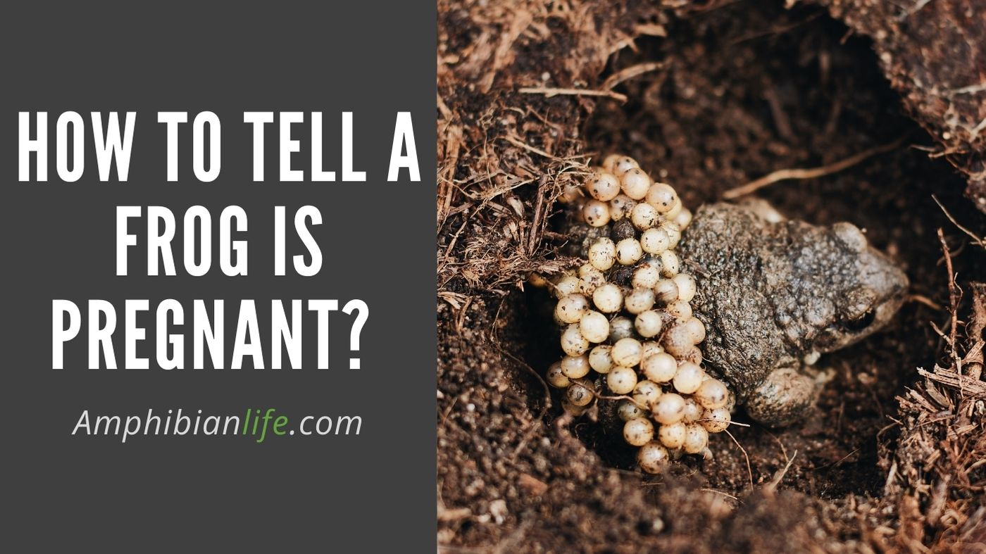 frog is pregnant? How to tell