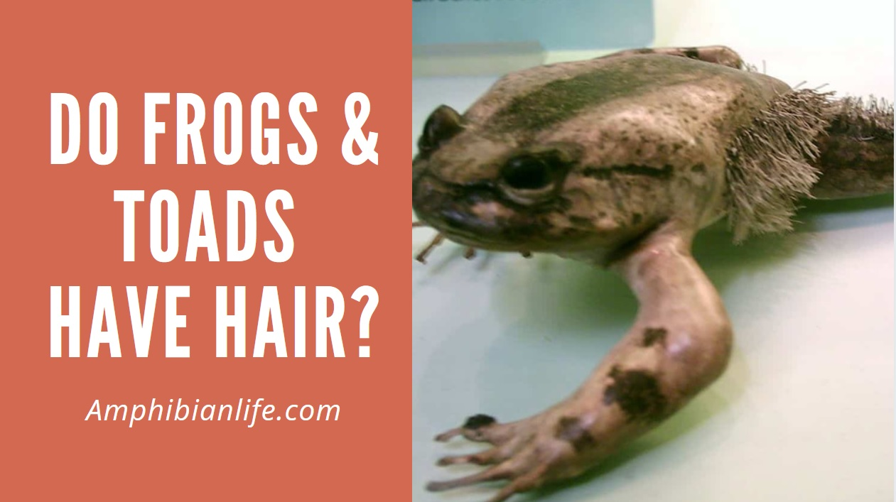 Do frogs have hair - Wolverine frog