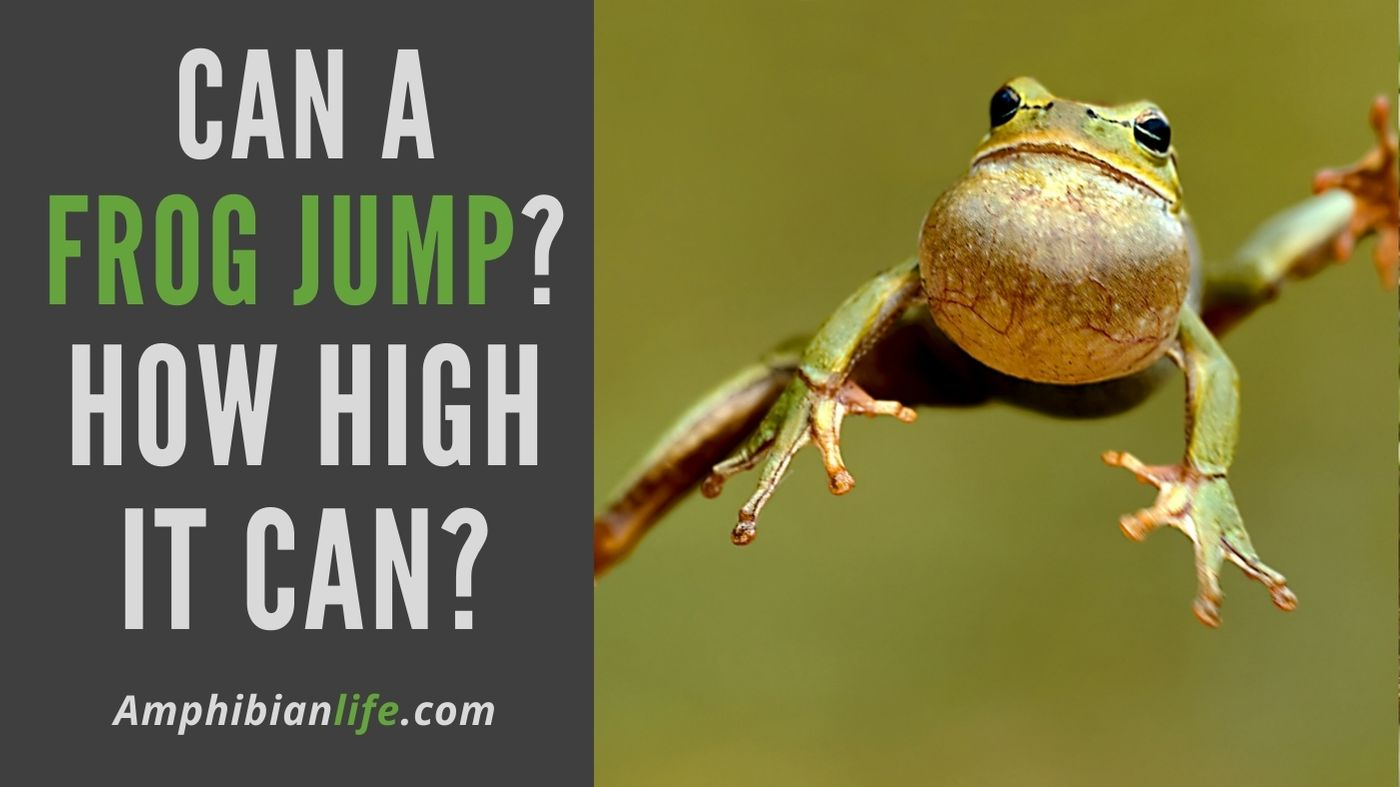 how high can a frog jump