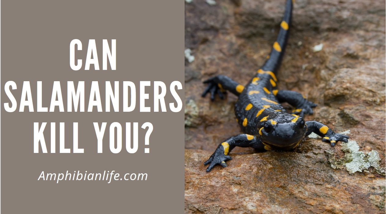 Are salamanders poisonous? yes why?