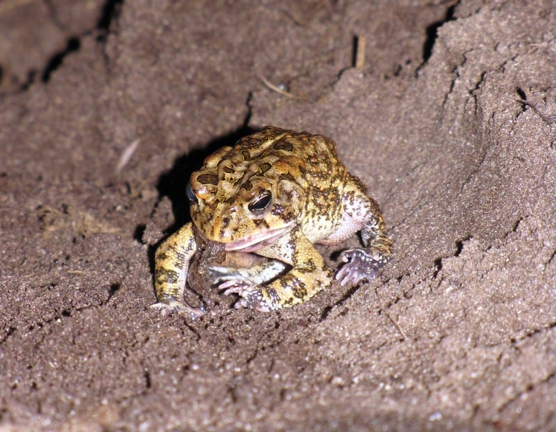 What do toads eat and what do you not want to feed them