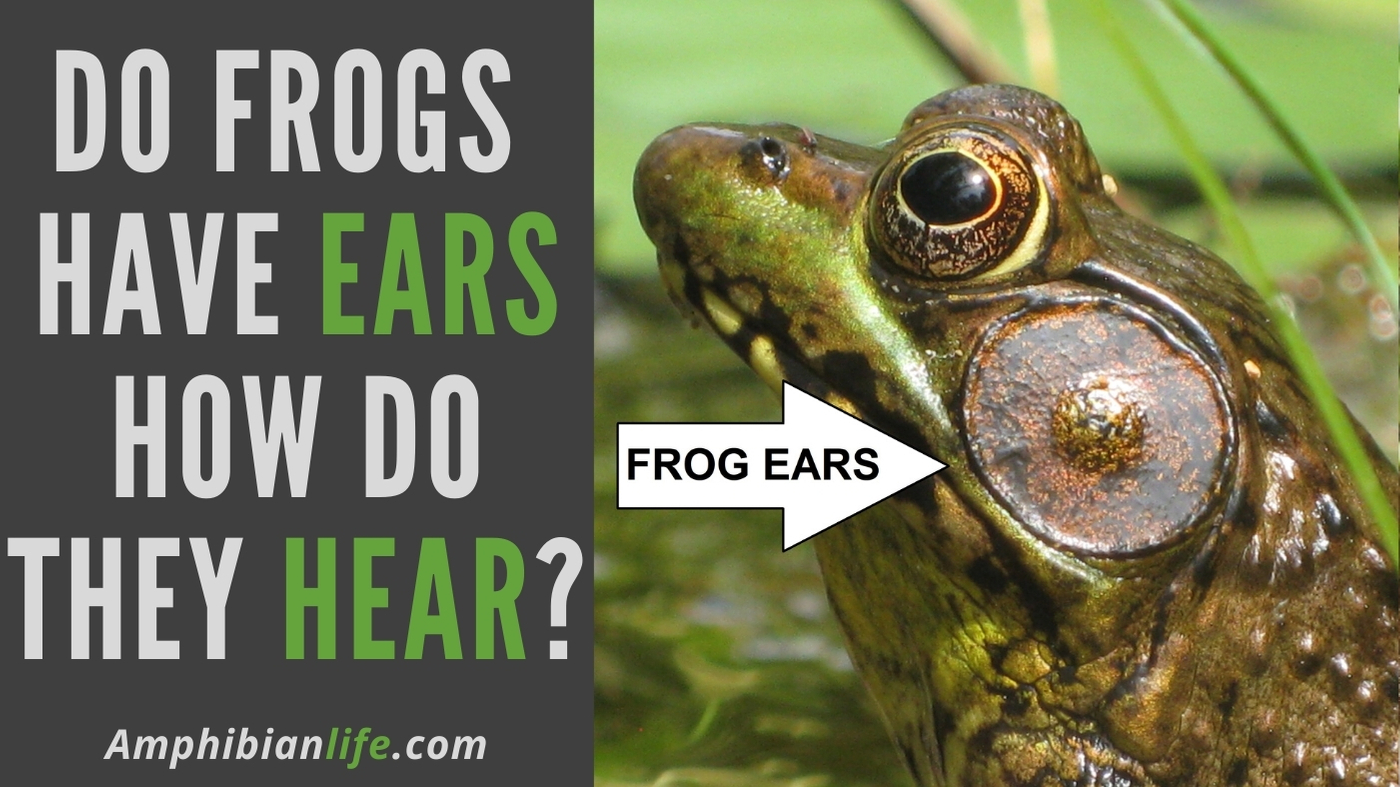 do frogs have ears how do frogs hear