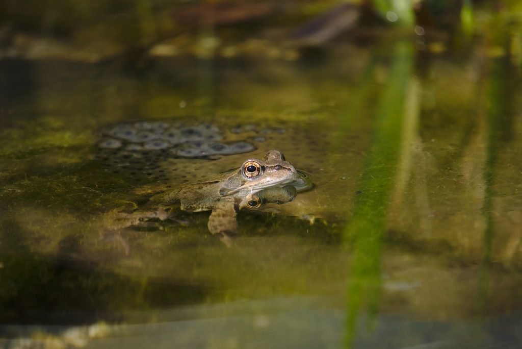 How do amphibians take care of their young