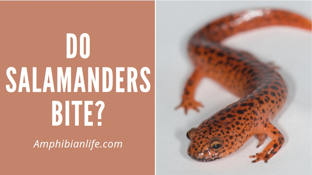 An in-depth article about if salamanders bite