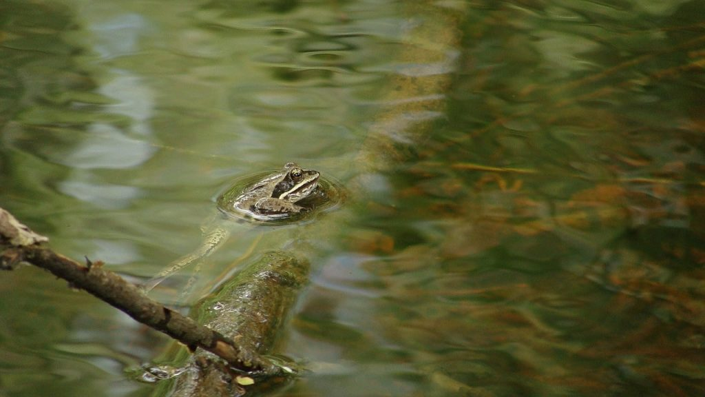 can frogs breathe underwater