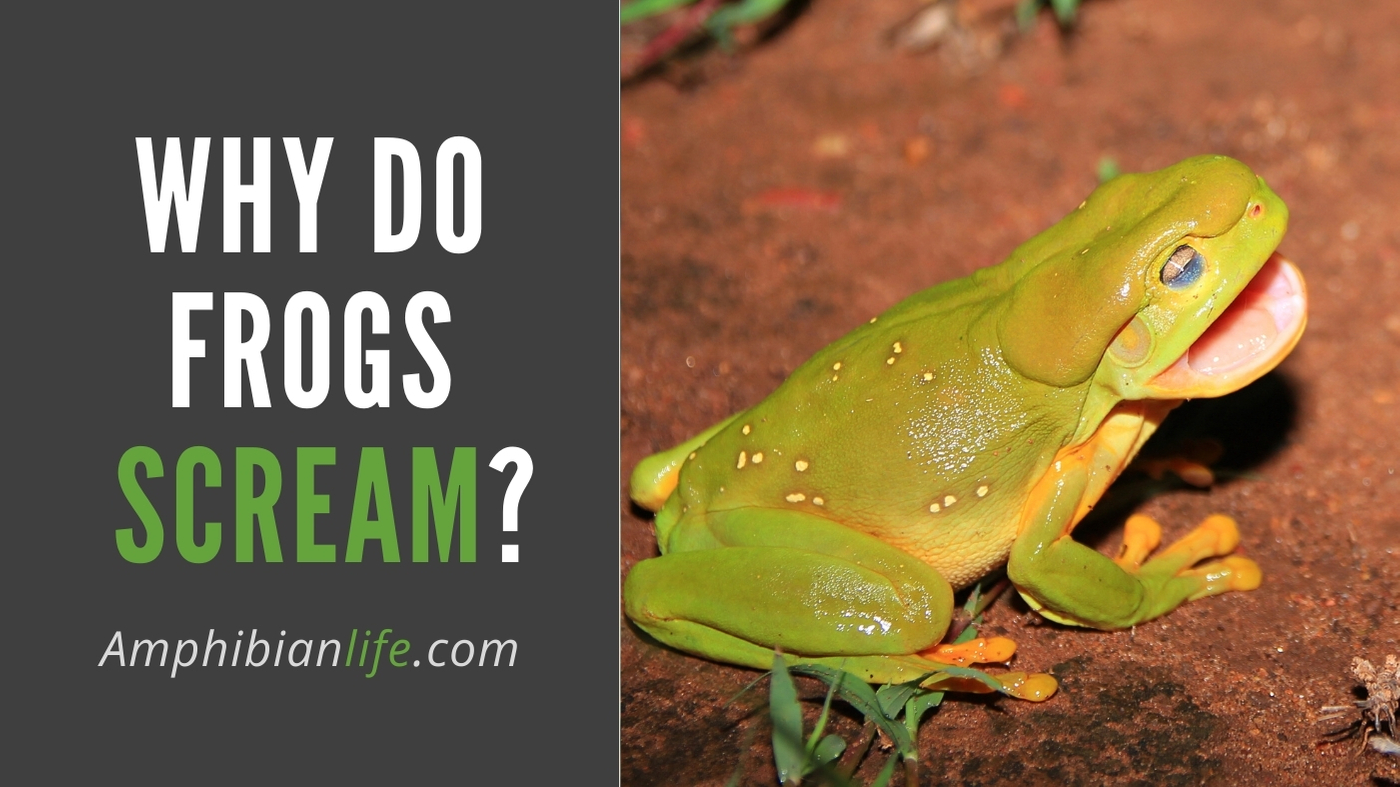 why do frogs scream