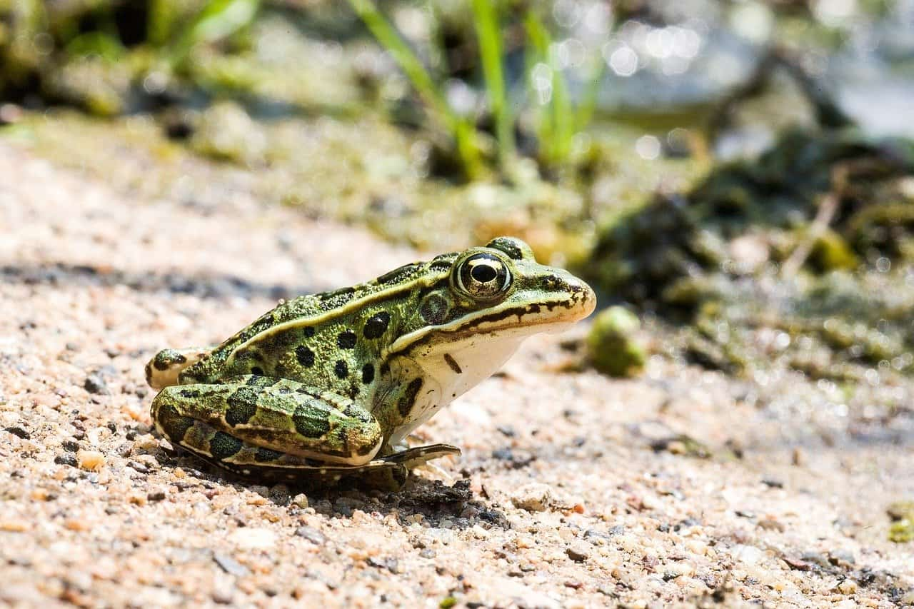 Leopard frog vs Pickerel frog