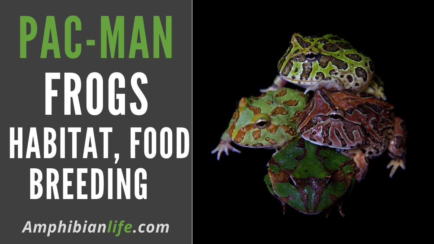 breeding cycles of pacman frogs
