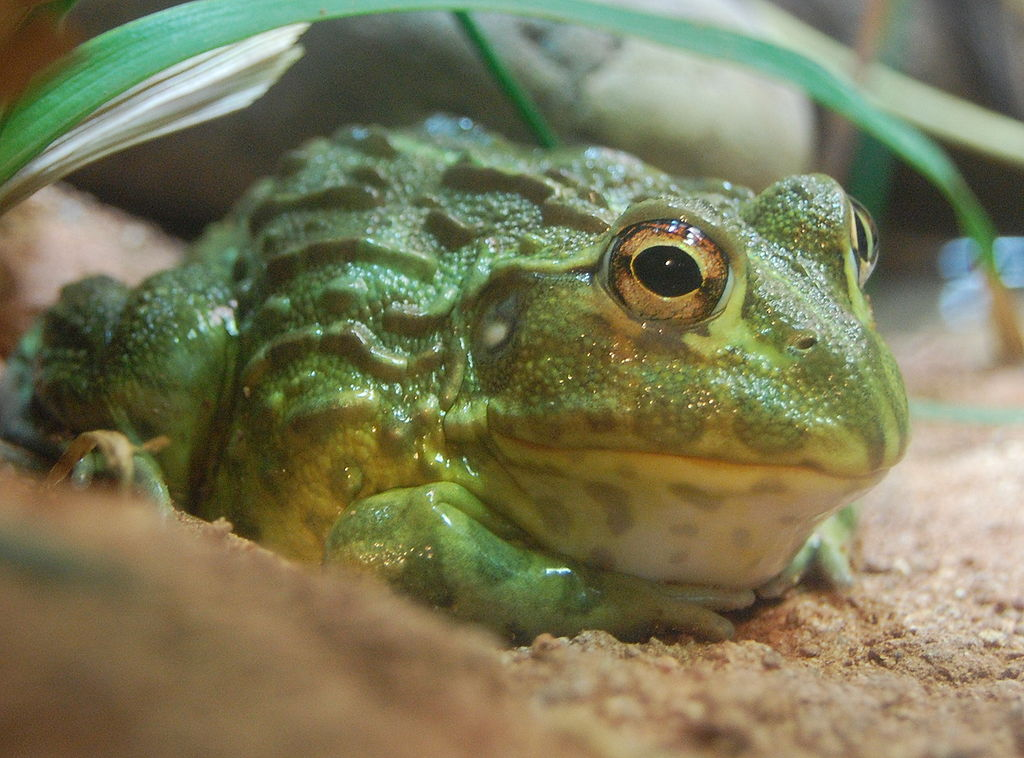 Pixie frog (Pyxicephalus adspersus) or bull frog