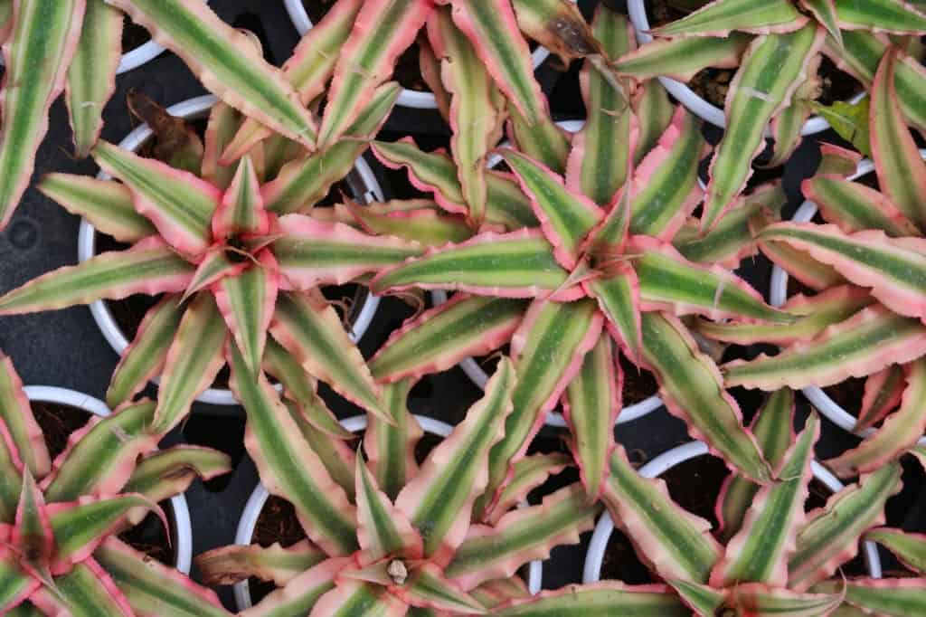 How To Take Care Of Billbergia