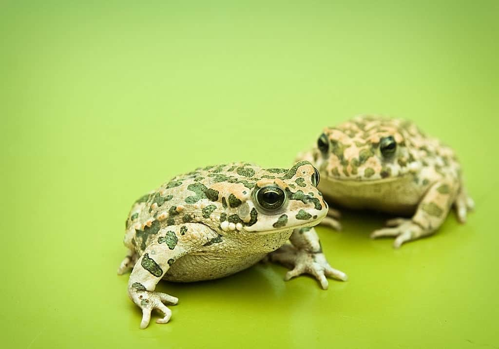 How long green toads live for?