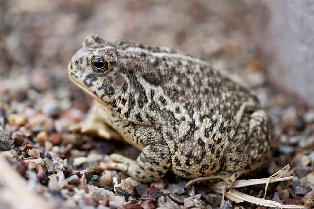 How old do fowler's toads get?