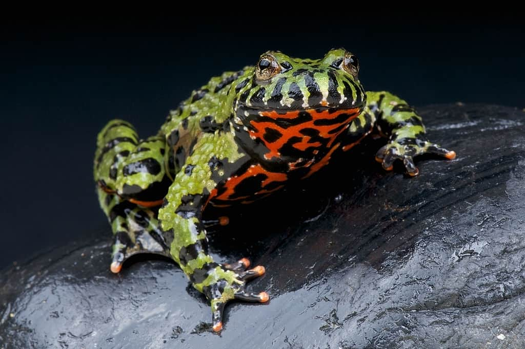 How long Fire-bellied Toads live for?