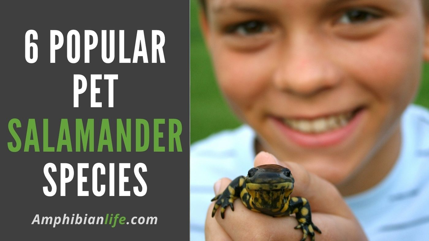 best salamander to have as a pet?