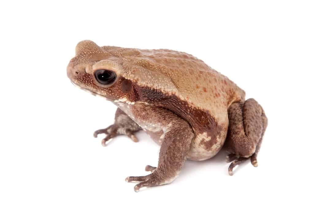 How long Smooth-sided toad lives?