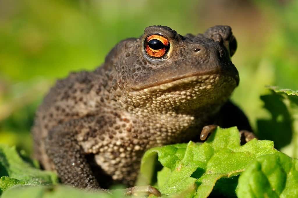 How old do Black Toads get?