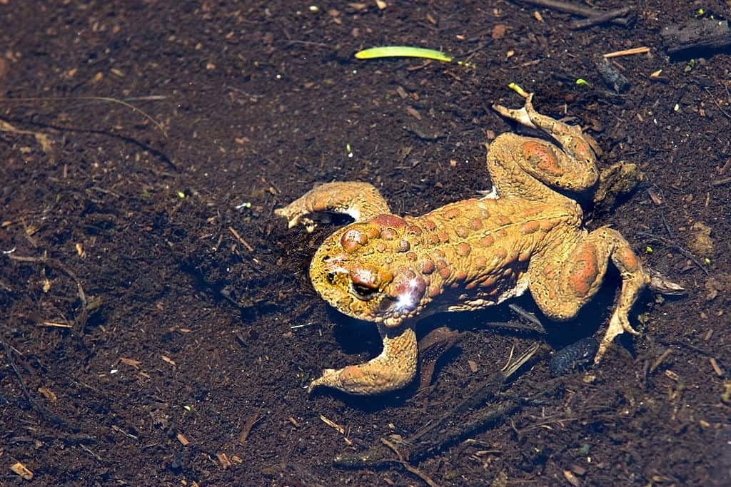 yosemite toad coming out after hibernation