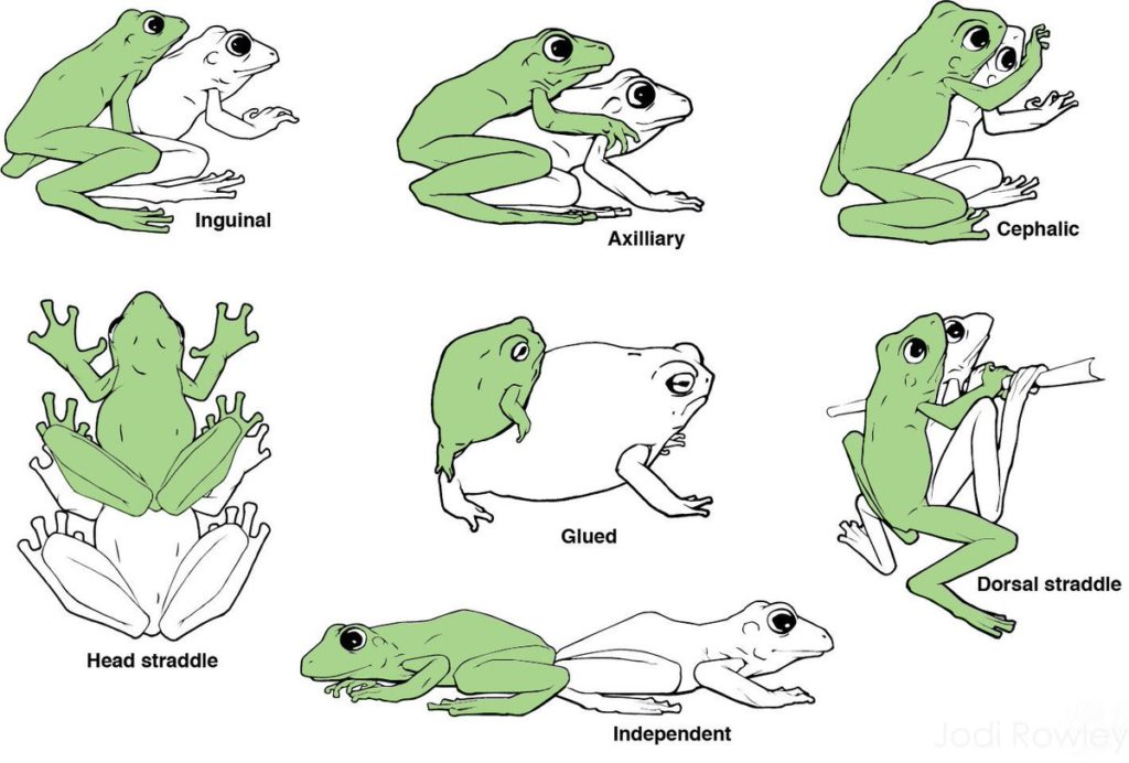 Various Amplexus positions in toads and frogs