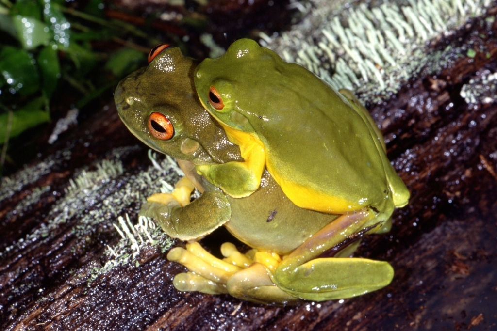 Pair of Red-eyed Tree Frogs amplexing