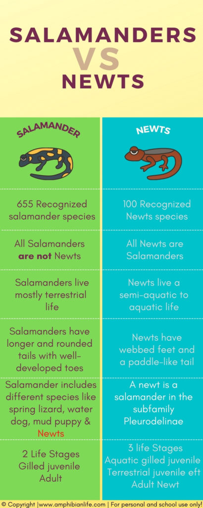 Salamanders and newts infographic