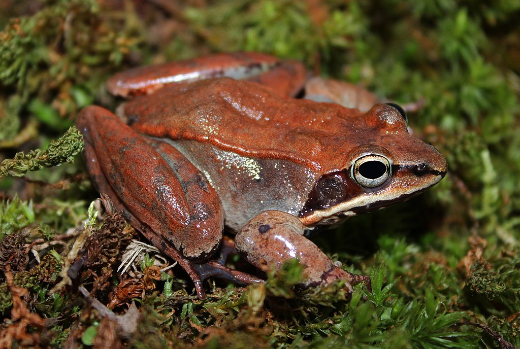 Wood Frog (Rana Sylvatica) Frogs of USA and Canada