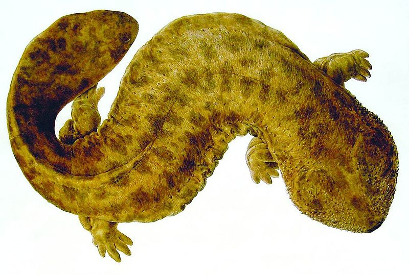 Japanese Giant Salamander facts for kids