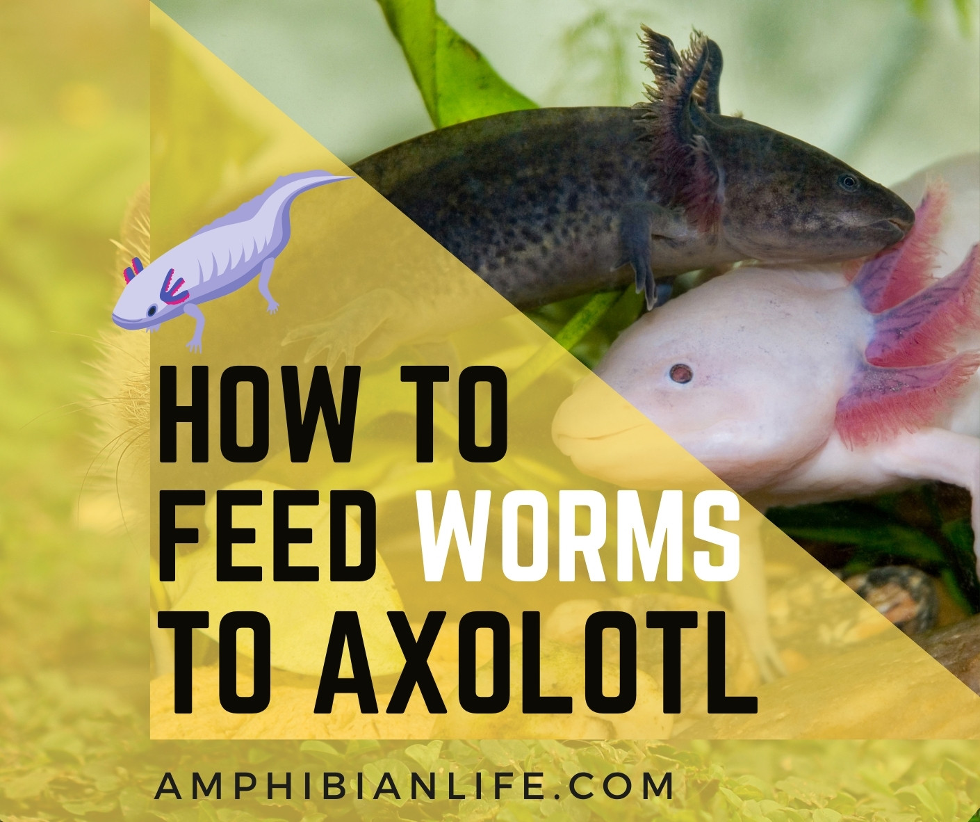 how to feed worms to axolotl