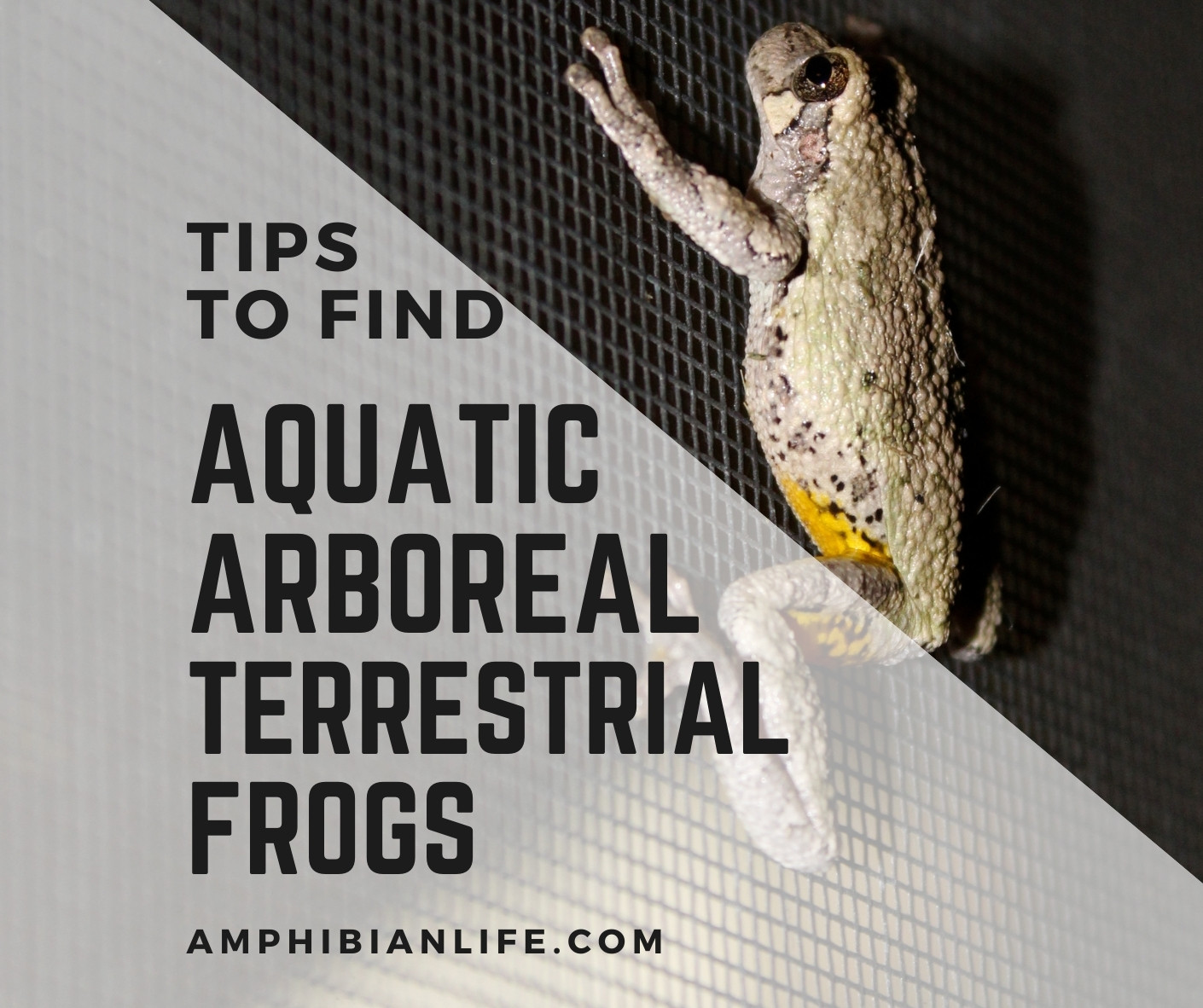 12 Tips for Finding Frogs Aquatic, Terrestrial and Arboreal